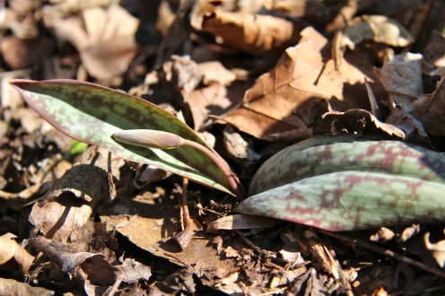 A trout lily in bud