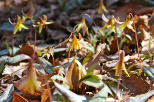 A hillside of trout lilies!