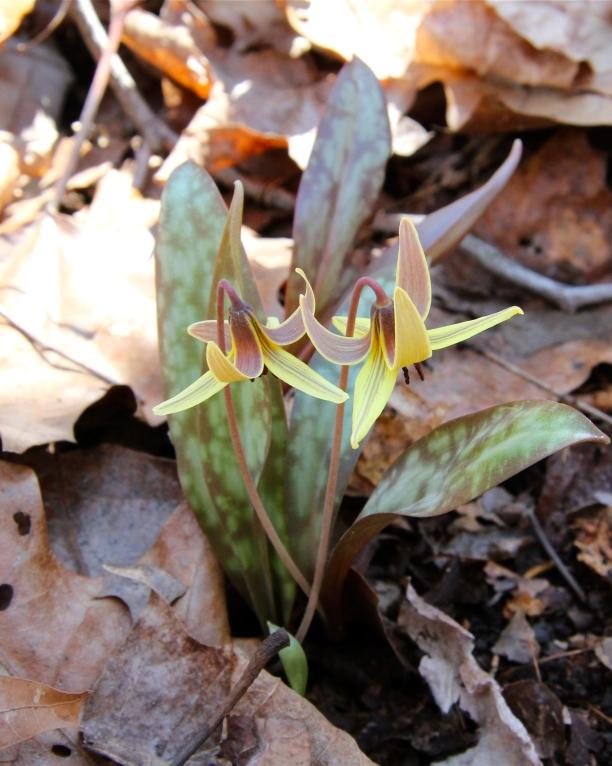 Twin lilies