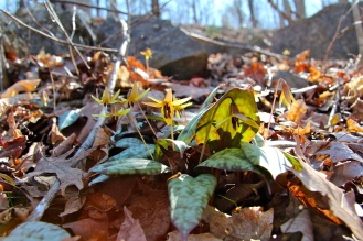 Trout lilies on a steep hillside
