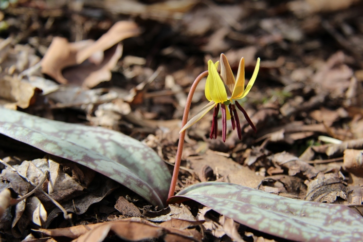 I have just one trout lily on my property: and here it is!