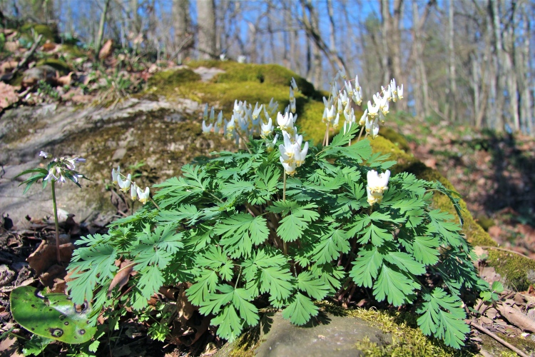 Dutchman's Breeches blooming in April