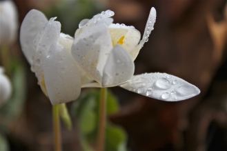 Bloodroot opening after a rain