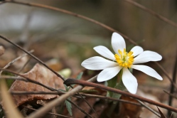 Bloodroot flower: March