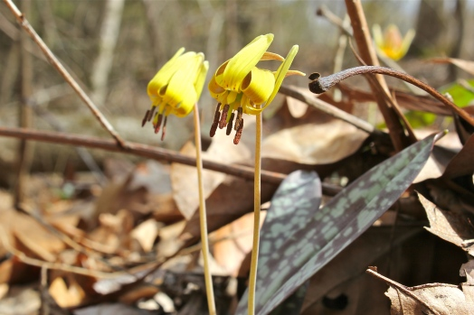 Reflexed petals of trout lily