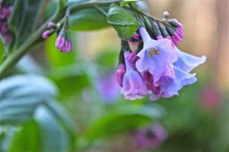 Virginia Bluebells (Garden cultivar)