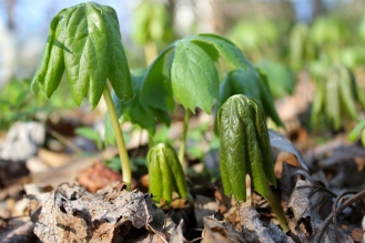mayapple plants opening in early spring