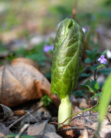mayapple buds emerging from the ground