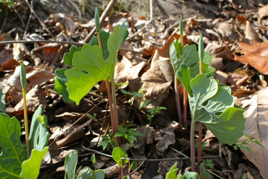 Bloodroot seed pods
