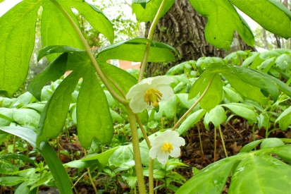 mayapples in flower, in April