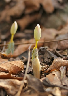 Bloodroot emerging with leaves