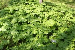 a colony of mayapples in May