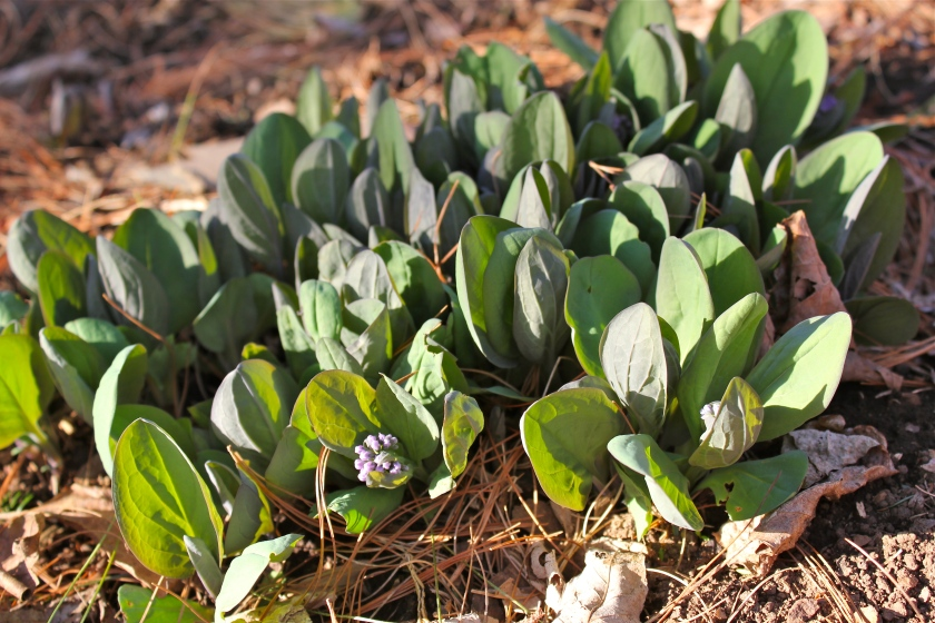 Young bluebells coming up a week after the last snowfall.