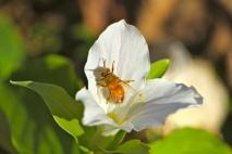 honey bees love to visit white trillium