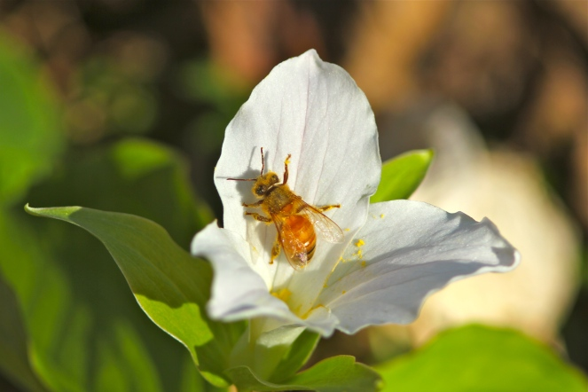 honey bees love to visit white trillium