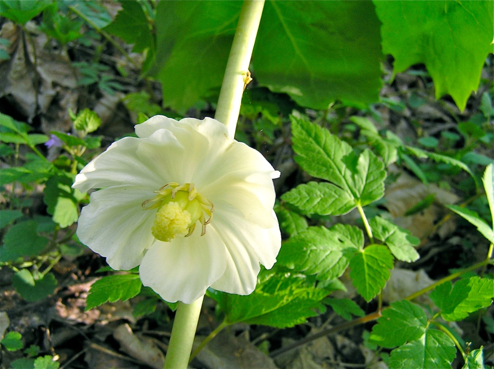 a mayapple flower will become one apple