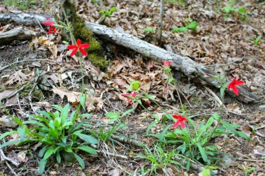 Fire Pinks growing on a wooded slope in the Pandapas Pond natural area