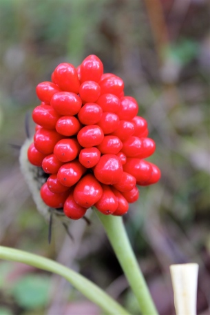 Berries of Jack in the Pulpit: October 1st