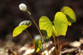 A young twin leaf plant captured in late afternoon light.