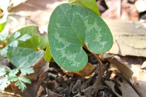 The mottled leaf of heartleaf ginger