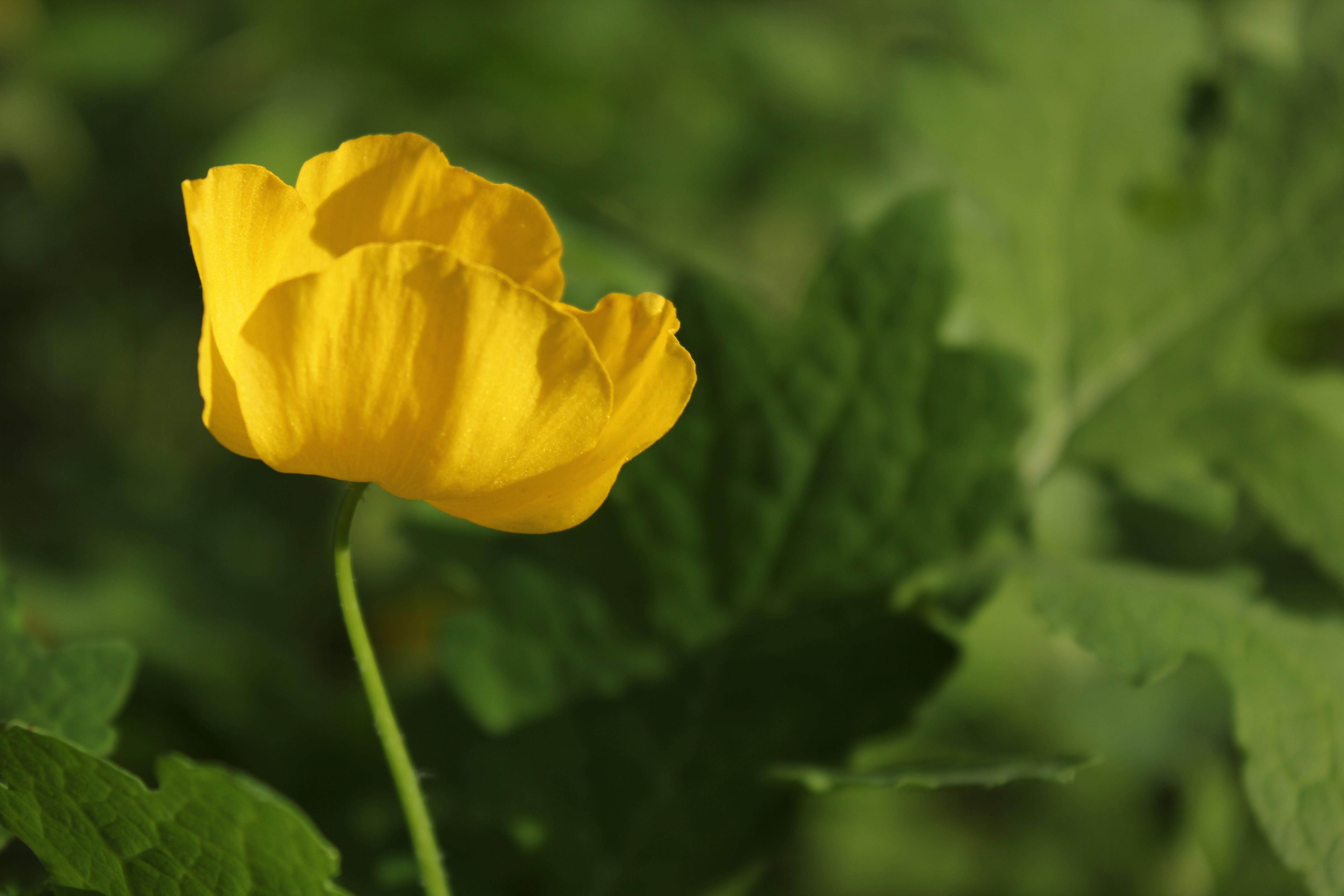 Wood Poppy Virginia Wildflowers