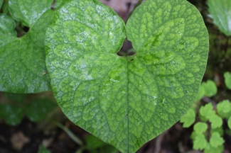 The lovely heart-shaped leaf of wild ginger late in the season