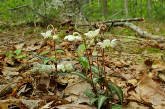group of Striped Wintergreen plants in flower
