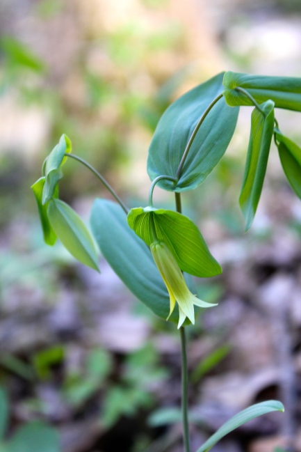 perfoliate bellwort at Mill Creek