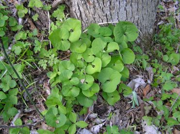 Wild ginger growing at the base of a tree