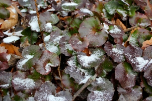 galax in winter- turns red