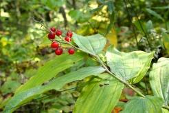 Berries of False Solomon's Seal
