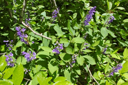 Showy Skullcap in May along Big Stoney Creek
