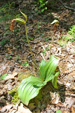 Pink Lady's Slipper Orchid setting seed in late June