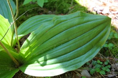 Ribbed leaves of Pink Lady's Slipper
