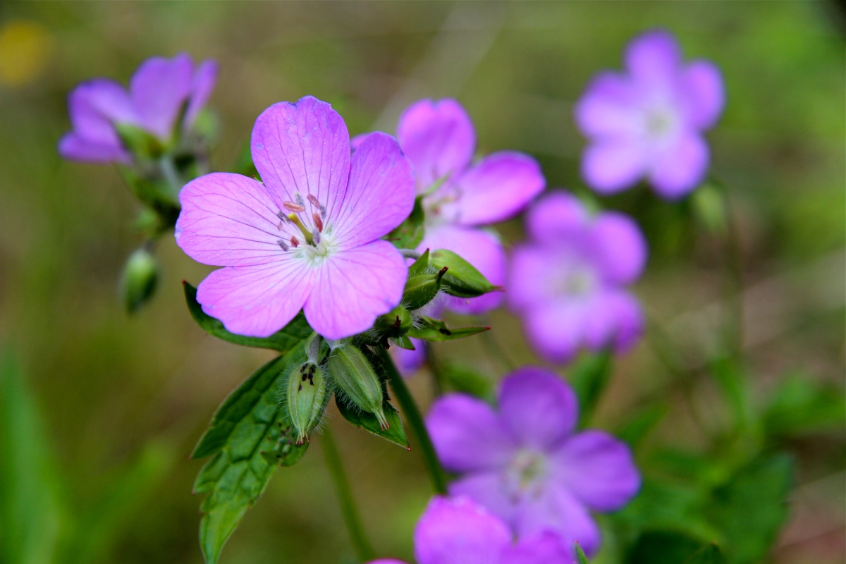 Wild Geranium Virginia Wildflowers