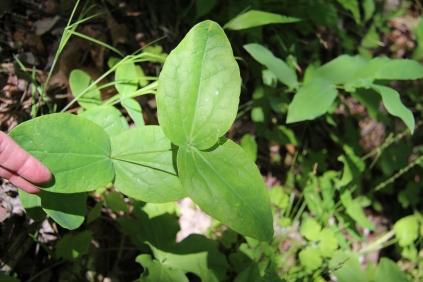 Leaves of Addison's Leatherflower