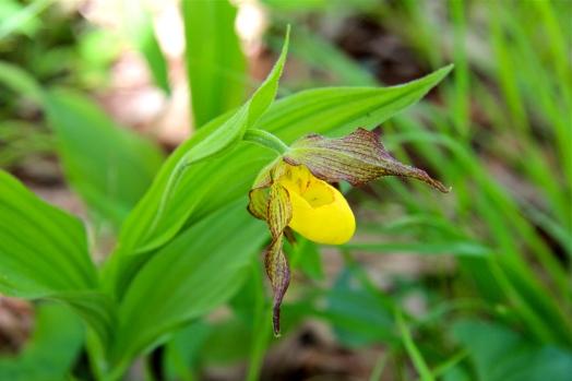 Yellow Ladies Slipper