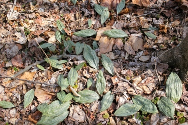 Putty root Orchid leaves at the end of winter