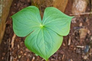 Distinctive 3-part leaf