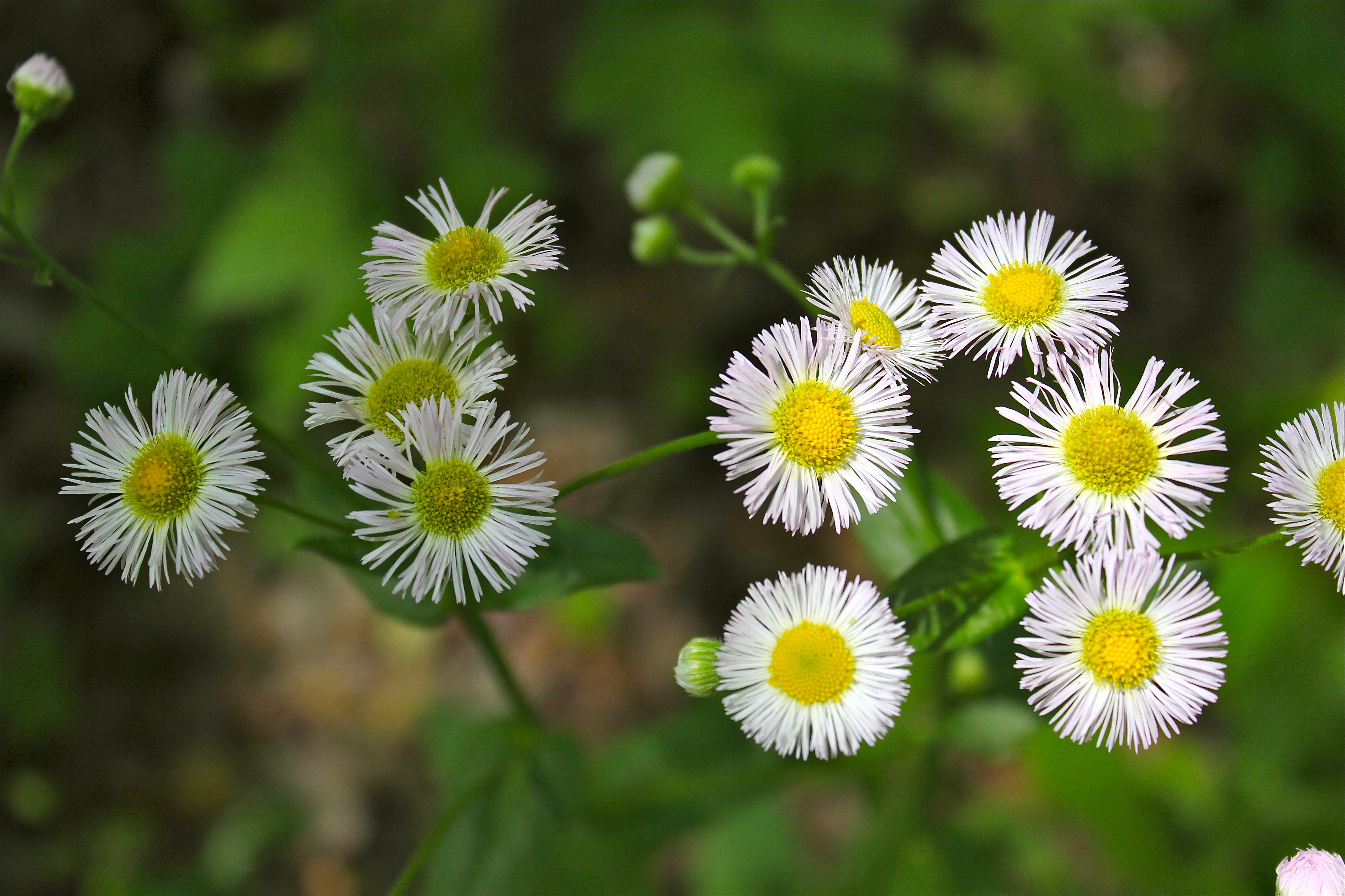 Tall pink daisy like flowers carpobrotus succulent plant pink tall pink daisy like flowers for kids izmirmasajfo