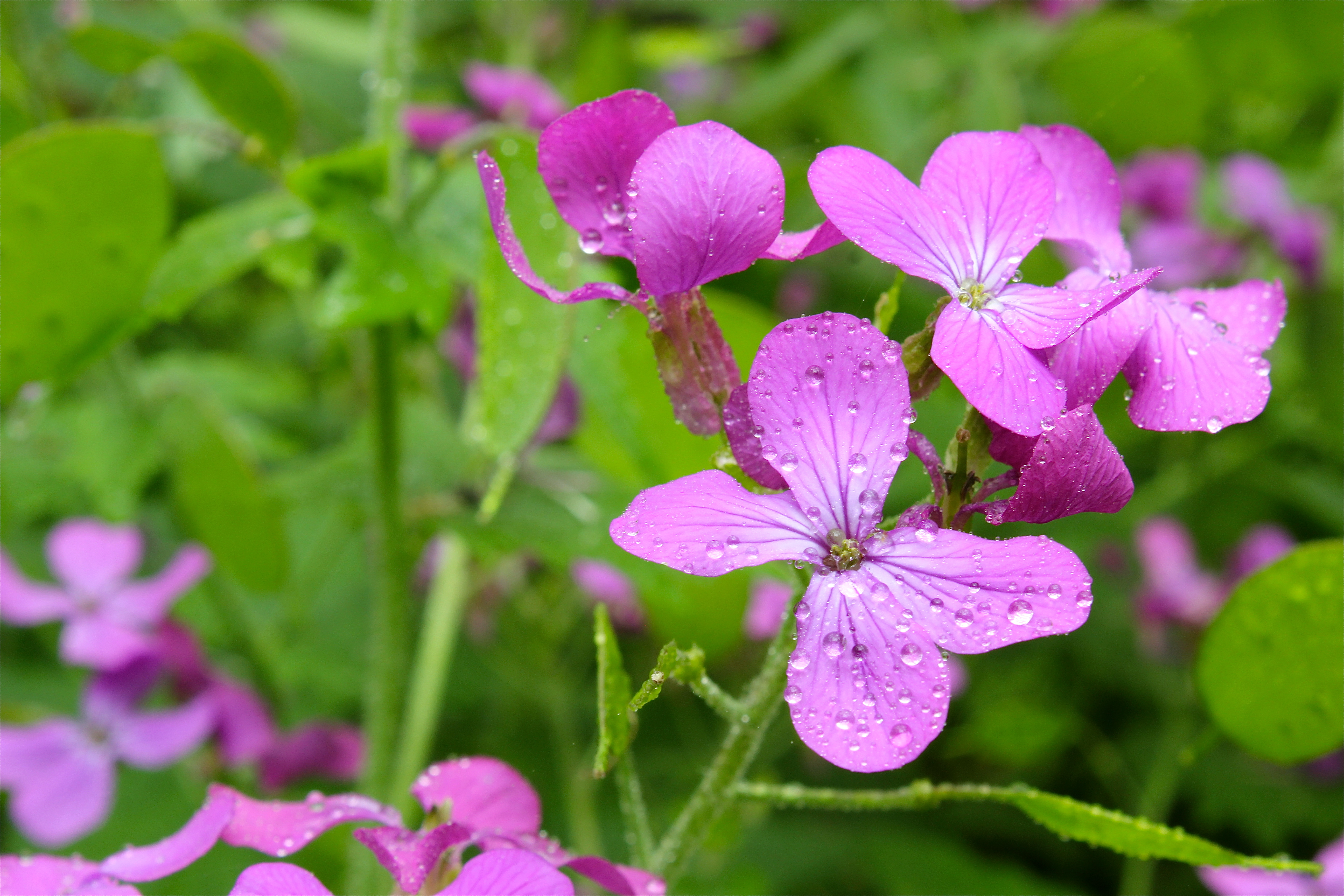 four petals – Virginia Wildflowers