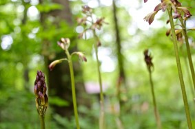 just opening: putty root orchid flowers