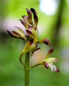 putty root orchid flowers
