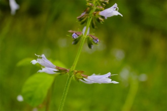 whorls of flowers around a square stem