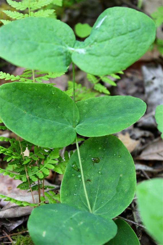 leaves of leatherflower
