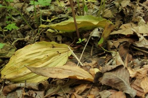 fading putty root orchid leaves