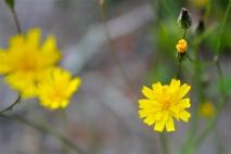 flower of rattlesnake weed