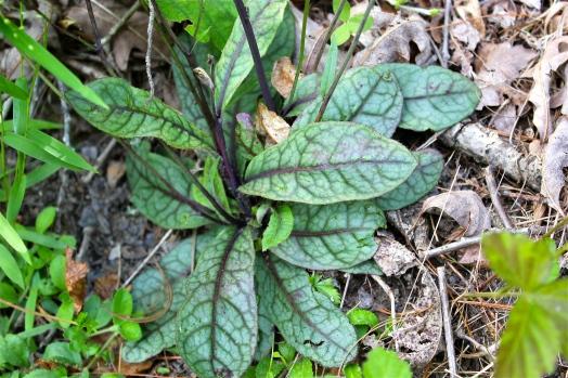 Rattlesnake Weed