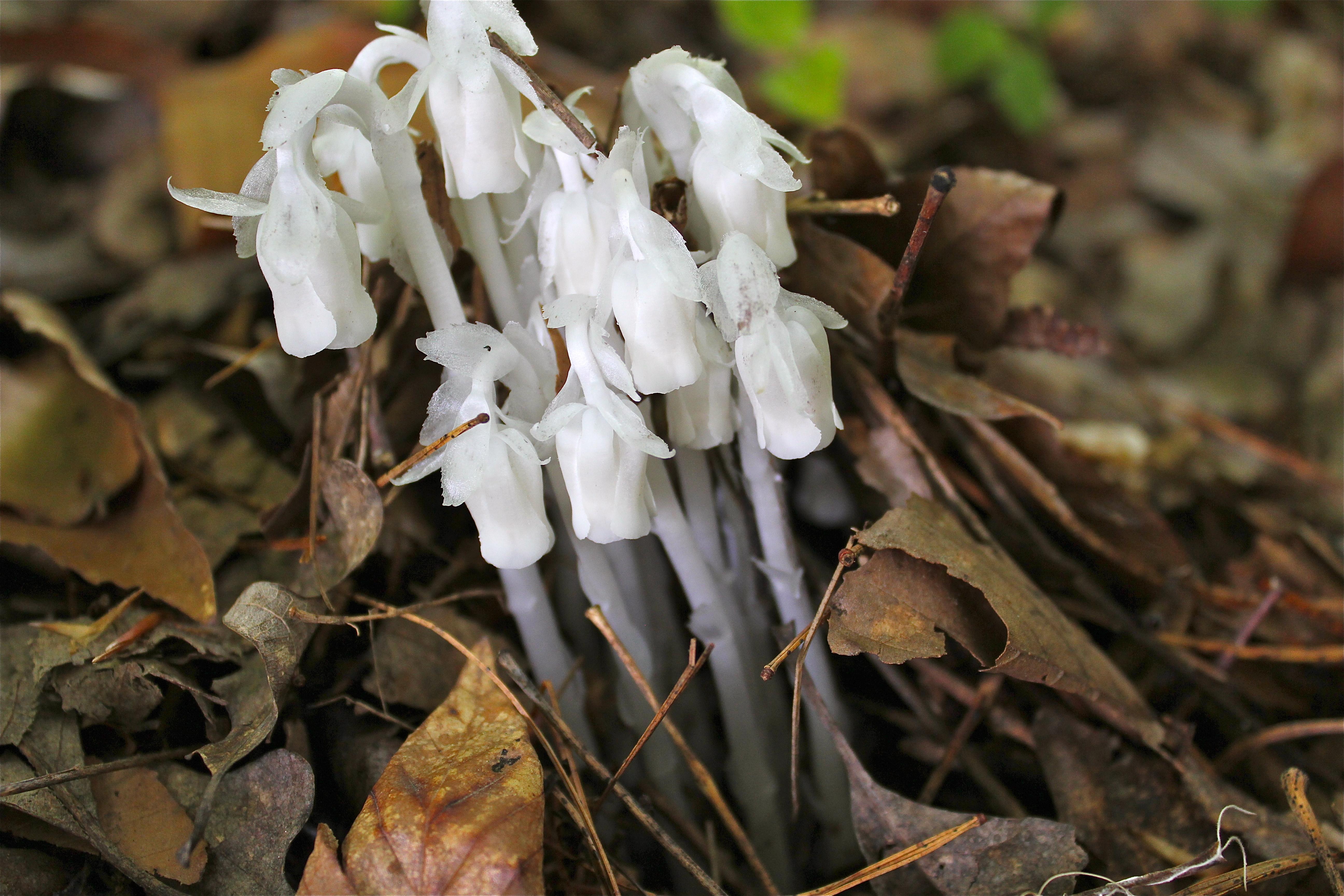 Indian Pipe – Virginia Wildflowers