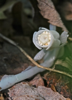 underside of the indian pipe flower